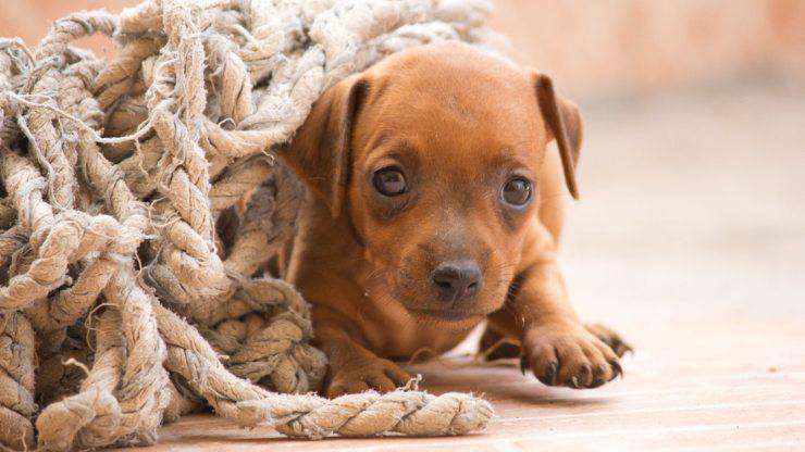 cane Zwergpinscher pinscher nano cucciolo