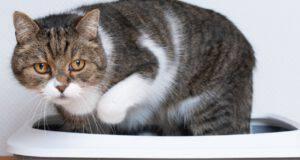 quante volte fanno la cacca i gatti