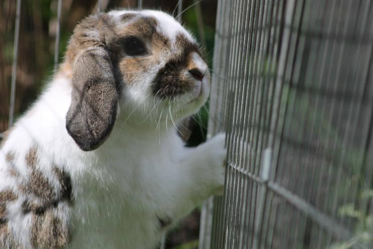 Il coniglio non vuole uscire dalla gabbia