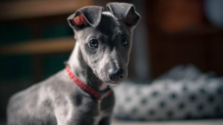 razze di cani dal pelo grigio