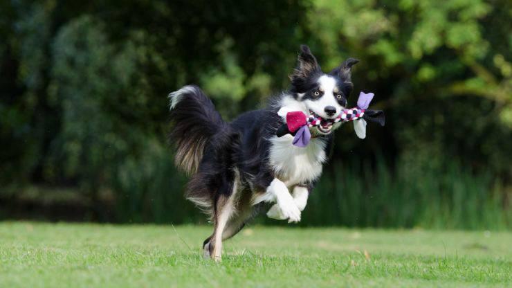 razze di cani più sportivi