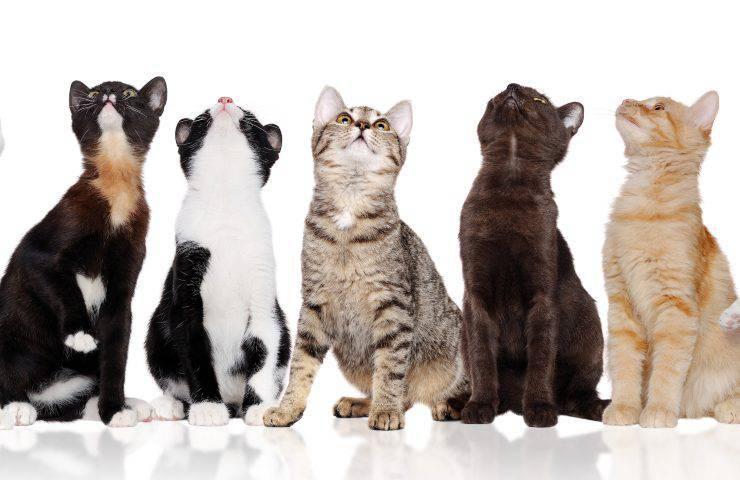 razze di gatti di taglia media