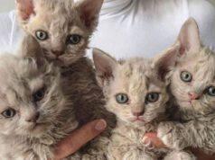 razze di gatti particolari