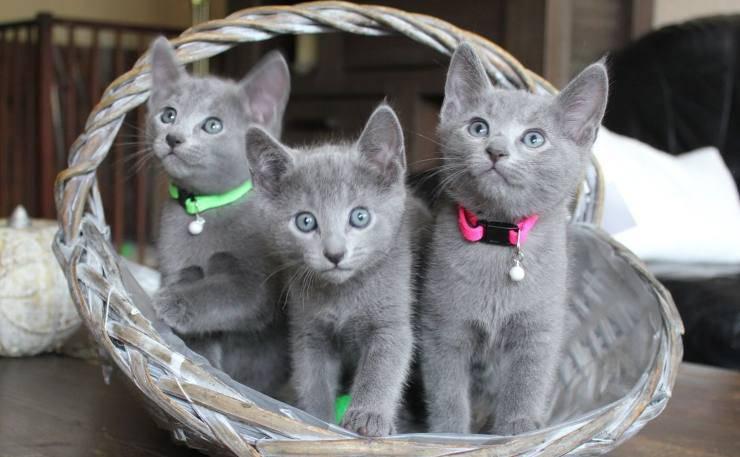razze di gatti particolari cuccioli di Blu di Russia