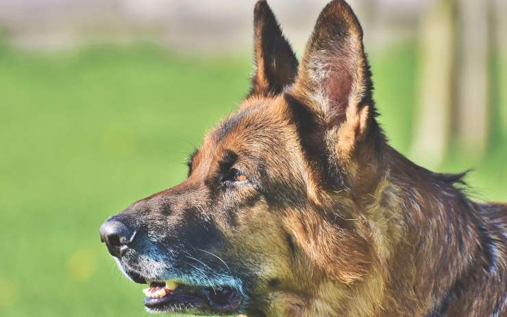 Sguardo del cane (Foto Pixabay)