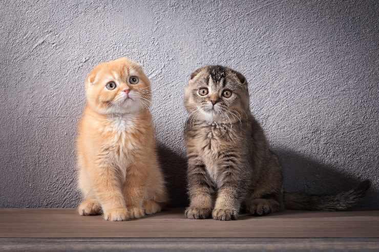 scottish fold due gattini
