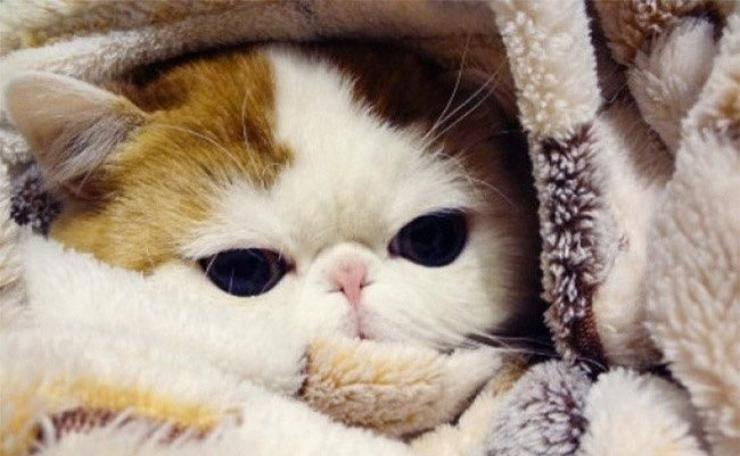 sintomi tracheite nel gatto