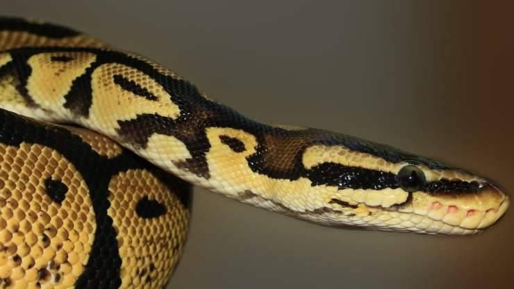 Serpente in primo piano (Foto Pixabay)