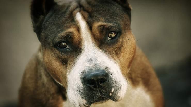 cane dallo sguardo triste (Foto pixabay)
