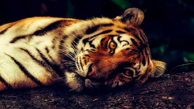 Tigre dallo sguardo triste (foto Pixabay)
