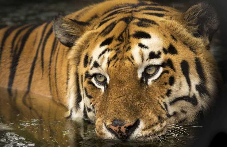 Tigre dans son habitat naturel (Photo Pixabay)