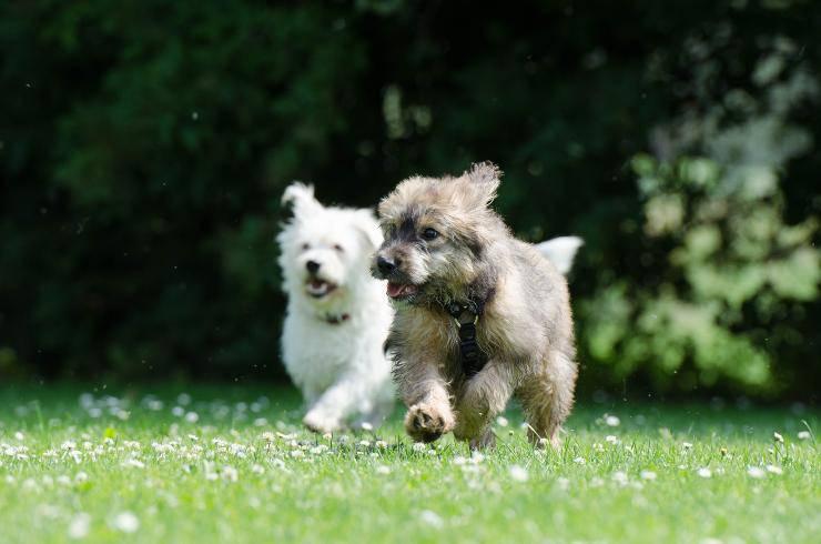 Razze di cani più graziose