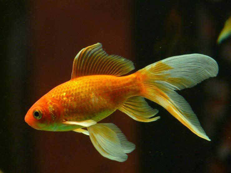 La foruncolosi nel pesce rosso