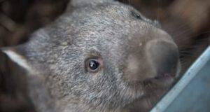 wombat curiosita