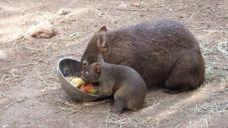 wombat mangia