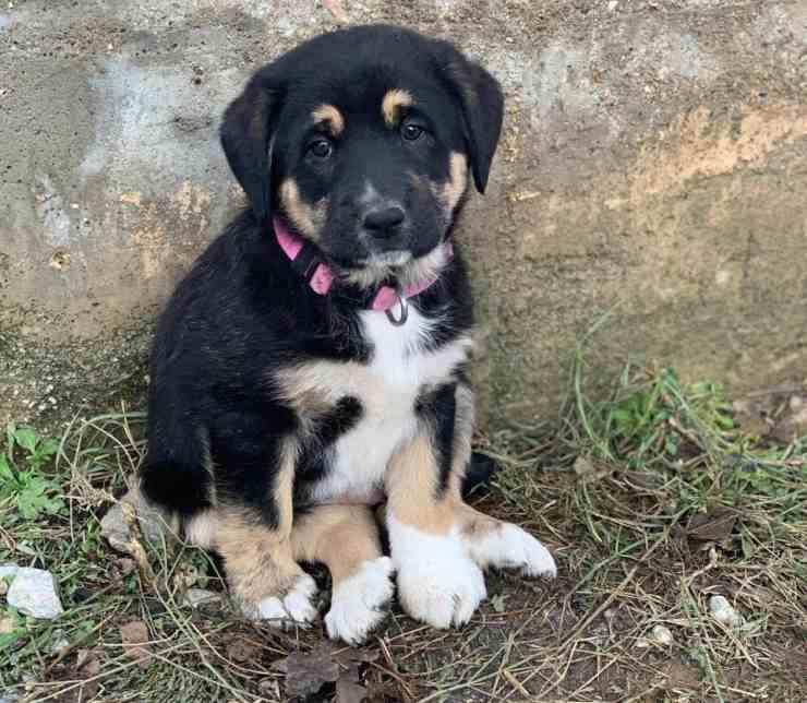 cucciolo cane salvato sergente esercito