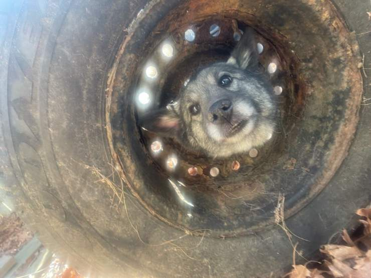 cane testa incastrata cerchione ruota