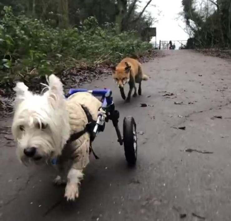 volpe cieca cane guida