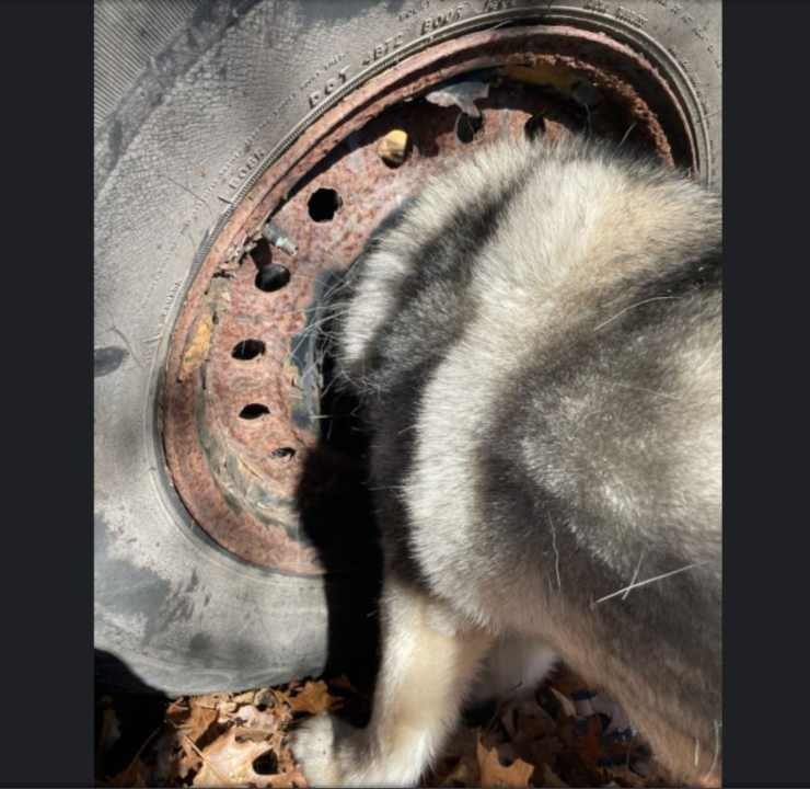 cagnolina testa cerchione pneumatico arrugginito