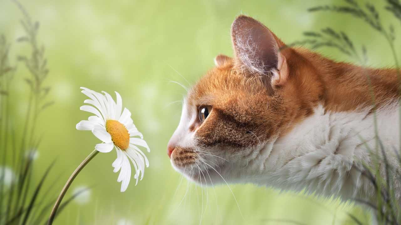 È più potente l'olfatto o l'udito del gatto?