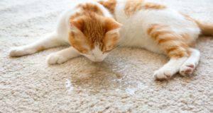 Quante volte fa pipì il gattino