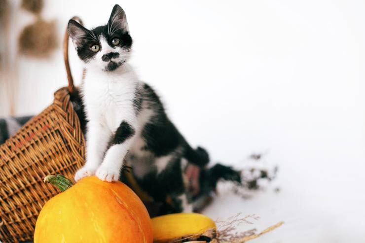 I gusti alimentari del gatto
