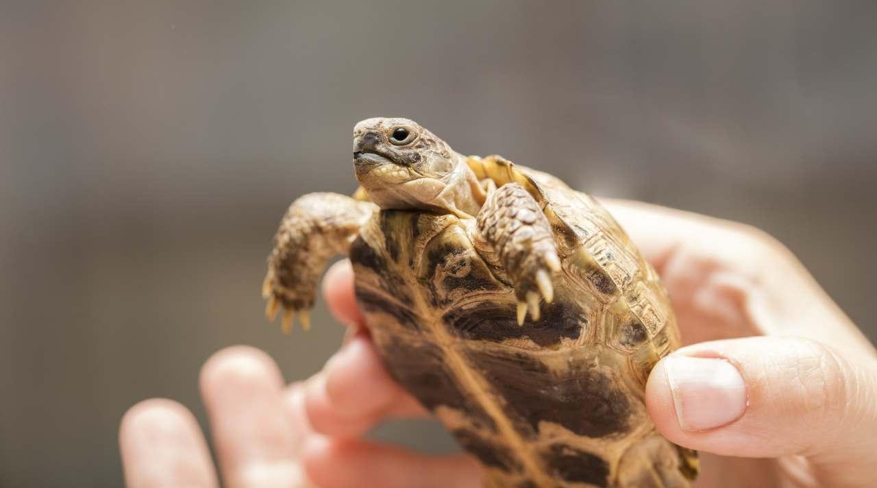 Obbligo microchip per la tartaruga di terra