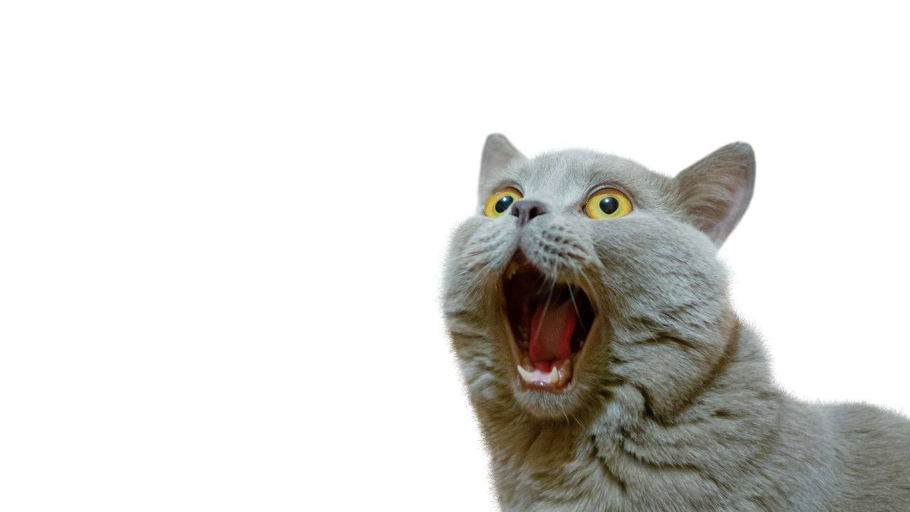 Gatto schizofrenico