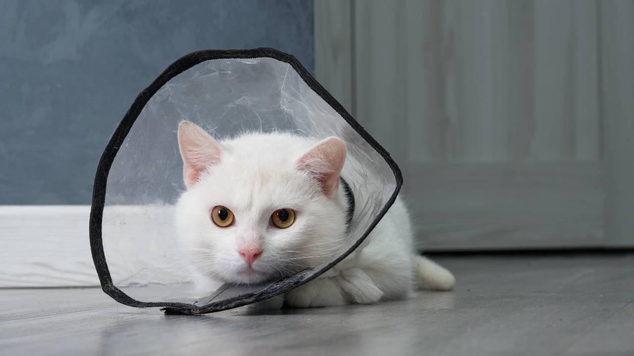 Collare elisabettiano fai da te per il gatto