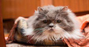 Demenza senile nel gatto