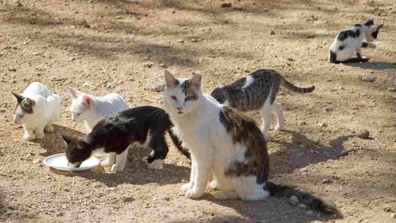 Gattili e colonie feline a confronto