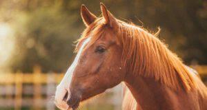 Endotossiemia nel cavallo