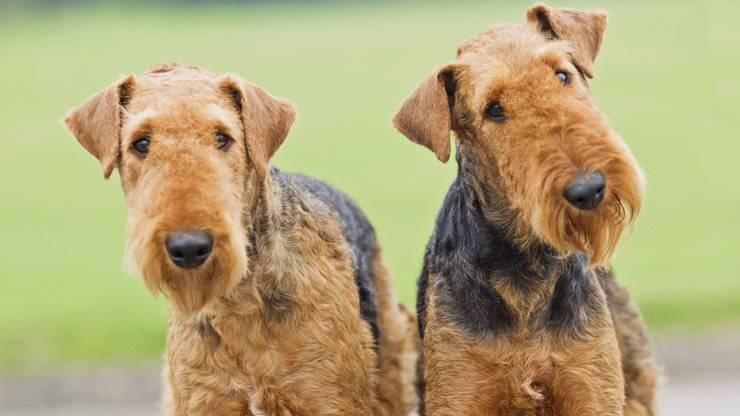 Adottare Airedale Terrier