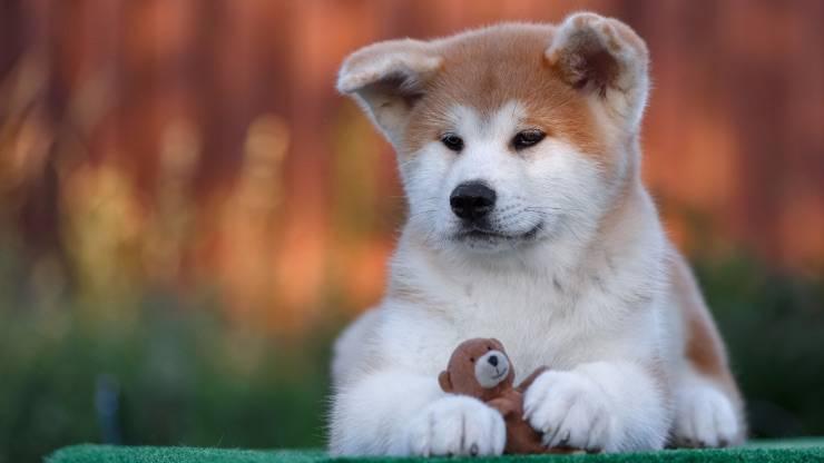 Akita Inu cucciolo