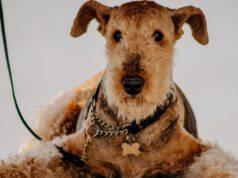 Razze di cani compatibili con Airedale Terrier