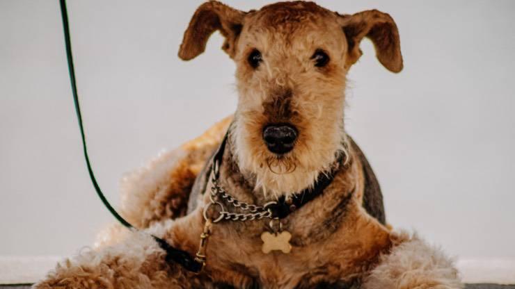 Razze di cani compatibili con l'Airedale Terrier