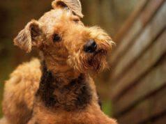 Curare il pelo e l'igiene dell'Airedale Terrier