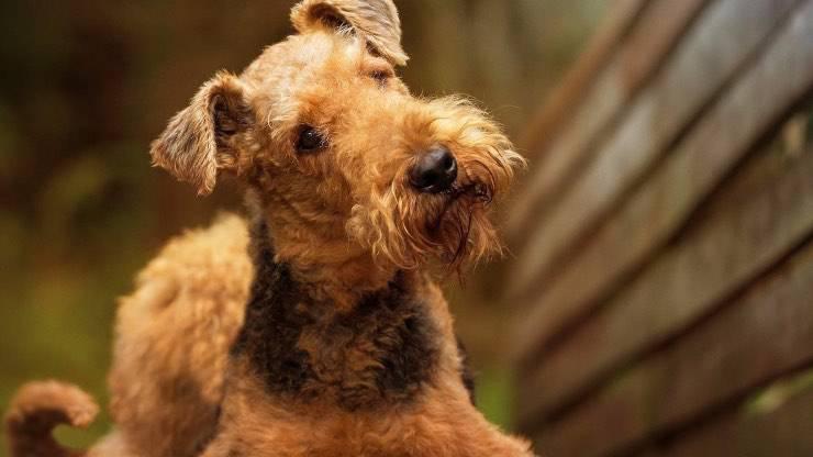 Alimentazione Airedale Terrier