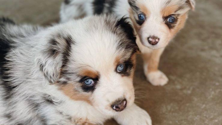 Razze di cani dal manto Merle