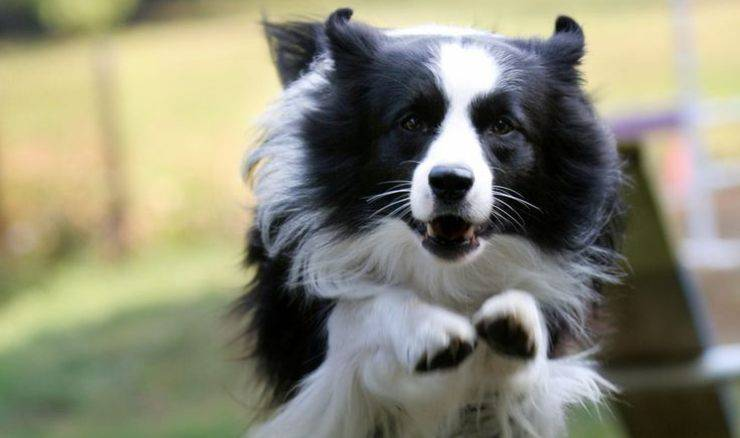 Border Collie che salta