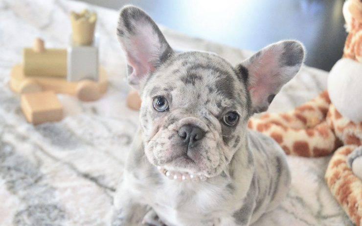 Bulldog Francese dal manto Merle