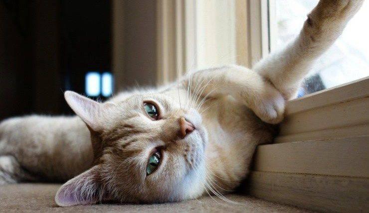 gatto Burmilla