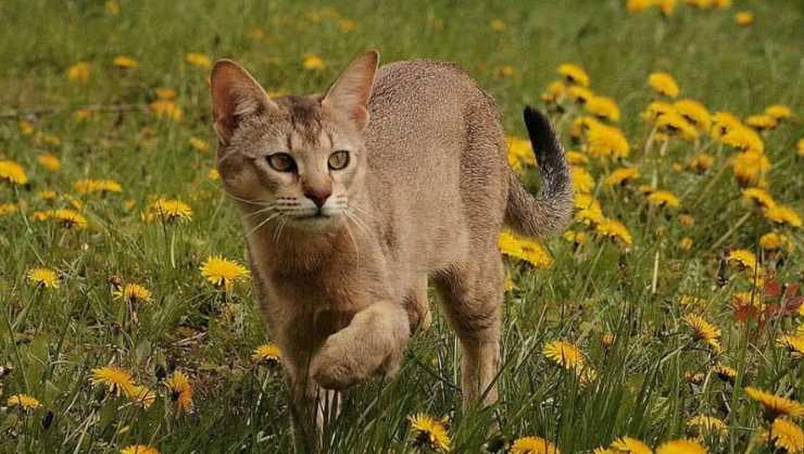 gatto Chausie