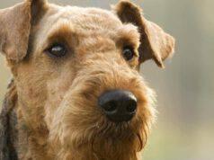Curiosità nell'Airedale Terrier
