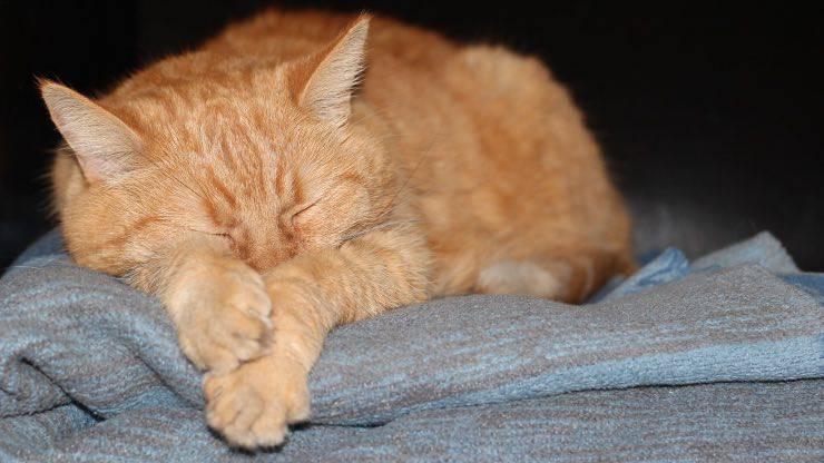 Endocardite nel gatto