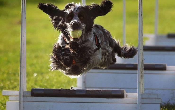 Flyball per il cane