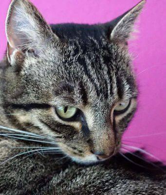 Ostruzione urinaria nel gatto
