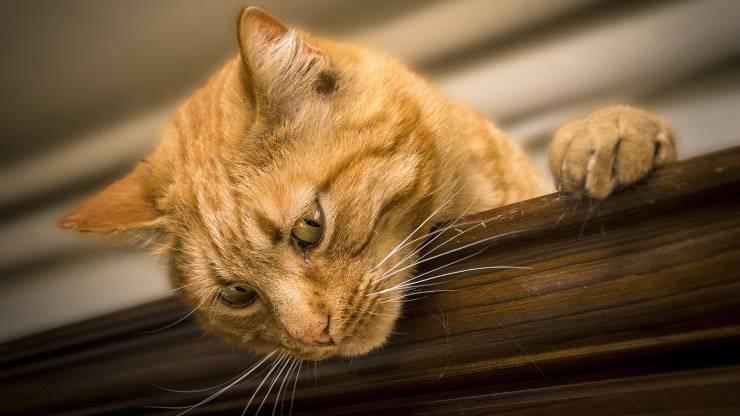 Ferite accidentali nel gatto