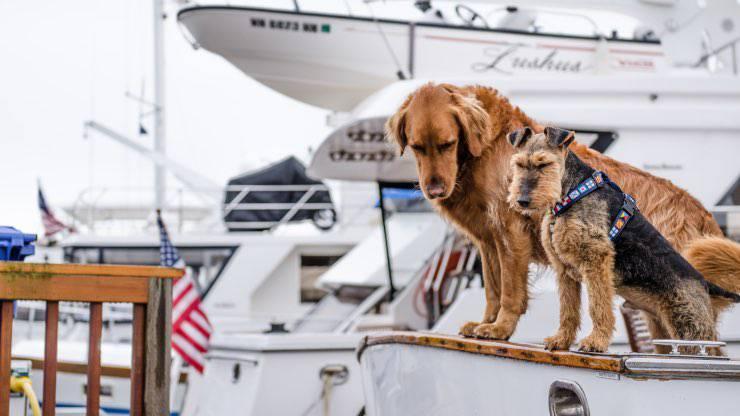 Golden Retriever-Airedale Terrier