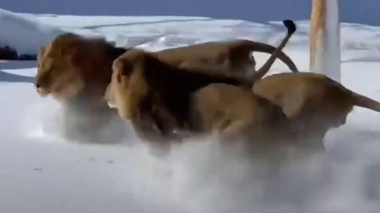 Gruppo Leoni Neve Video